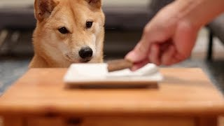 Will She Steal It? | Shiba Inu Temptations Episode 2