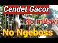 Burung Pentet Cendet Gacor No Mbayi Ngeboss  Mp3 - Mp4 Download