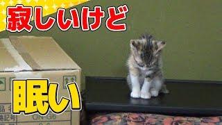 【猫】寂し鳴きするけど睡魔には勝てない子猫:1日目④【kitten】 thumbnail