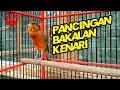 Suara Kenari Nembak Panjang Sangat Cocok Buat Pancingan Kenari Muda Bakalan  Mp3 - Mp4 Download