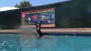 Doberman Pinscher Satnding & Waiting For Toy In Swimming Pool