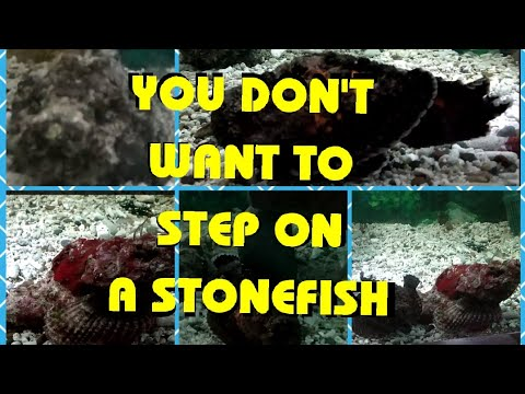 STONEFISH / You Don't Want To Step On A STONEFISH / Most Poisonous Fish In The World / Venomous