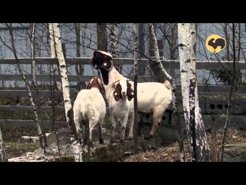 Бурская порода коз. Живой дом 122.