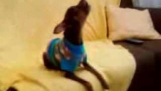 Cachorro Pinscher Cantando