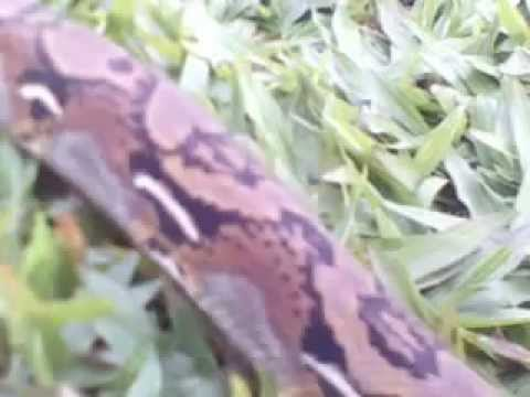 trăn gắm, trăn mắc võng, trăn nưa ( Python reticulatus )