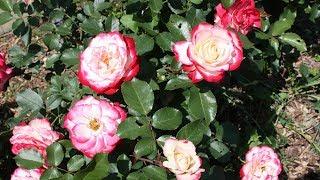 Какие розы выбрать для посадки в саду  Саженцы роз на садовой выставке