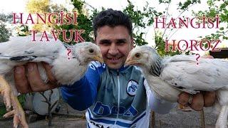 Civciv Cinsiyeti Nasıl Anlaşılır - Hangisi Tavuk Hangisi Horoz