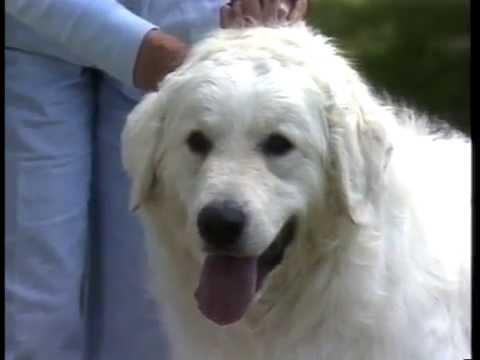 Kuvasz - AKC Dog Breed Series