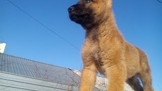 Бельгийская овчарка Малинуа щенок 3,5 мес(, 2016-01-24T18:53:12.000Z)