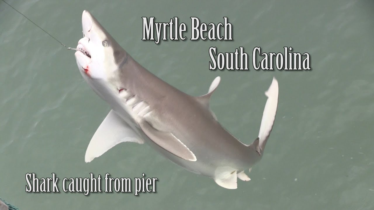 Shark Caught In Myrtle Beach