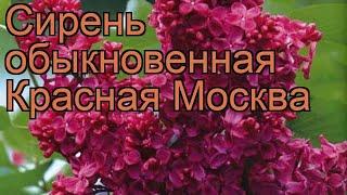 Сирень обыкновенная Красная Москва ???? обзор: как сажать, саженцы сирени Красная Москва