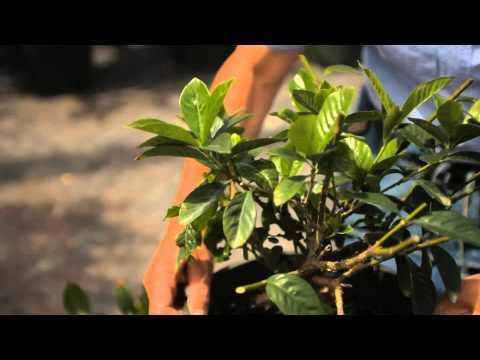 Guide to Pruning a Gardenia Bush : Garden Savvy