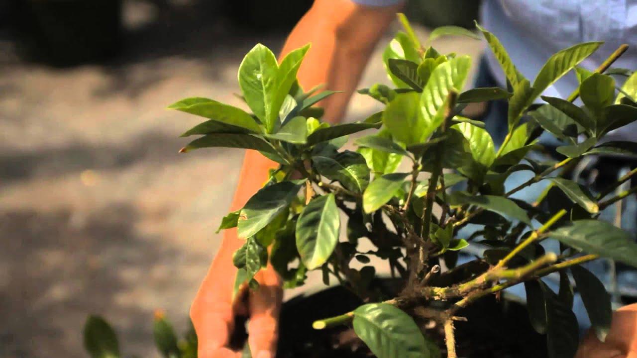 Guide To Pruning A Gardenia Bush Garden Savvy Youtube Gardenia Bush Gardenia Prune