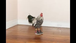 Best funny Videos With the Chicken (chicken wearing shoes)