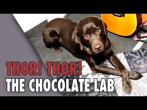 Thor the Chocolate Lab - Theme Song