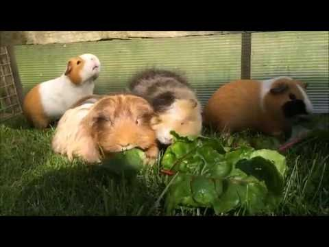Keeping Guinea Pigs and Rabbits Cool in the Summer | Furry Friends