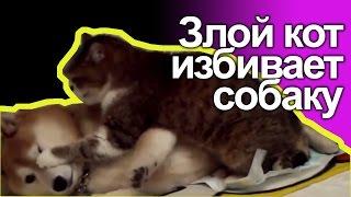 Злой кот избивает собаку
