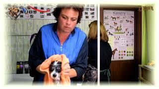 Как и чем мыть собаку в салоне? Китайская Хохлатая Голая - THOR - МиШГ ВИКОНТ