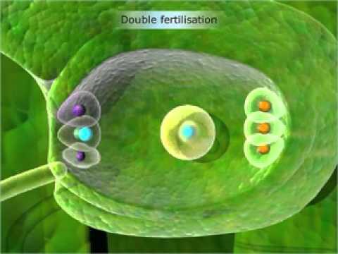 Fertilisation in Flowering Plants -Class 12