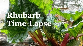 Time Lapse of Rhubarb Growing
