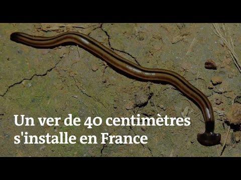 Un ver de terre de 40 centimètres pourrait menacer l'écosystème français