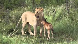 Лев защищает детеныша антилопы!