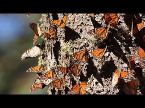 Monarch Butterflies: Great Migration