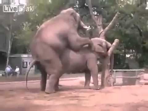 难得一见的大象交配 最后还.....(OMG)