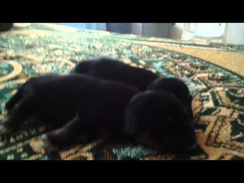 Newborn puppies crying!