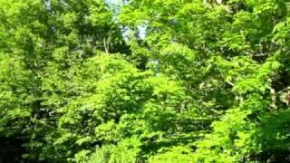 Tree Frog Serenade