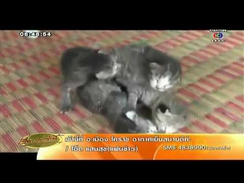เรื่องเล่าเช้านี้ ชาวบ้านแห่ดูลูกแมวตัวติดกัน 4 ตัว เจ้าของวอนช่วยจับแยก