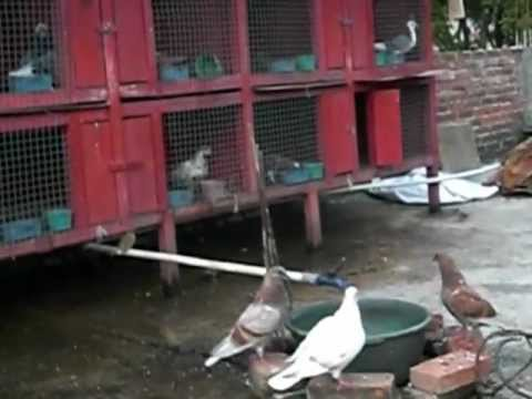 pidio burung merpati tinggi CRG