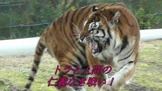 秋吉台サファリランドのトラと係員による、仁義なき戦いです。