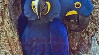 Aves brasileiras em extinção