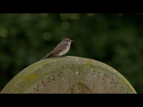Spotted flycatcher perched on a gravestone, takes off to catch a fly, Bedfordshire, UK