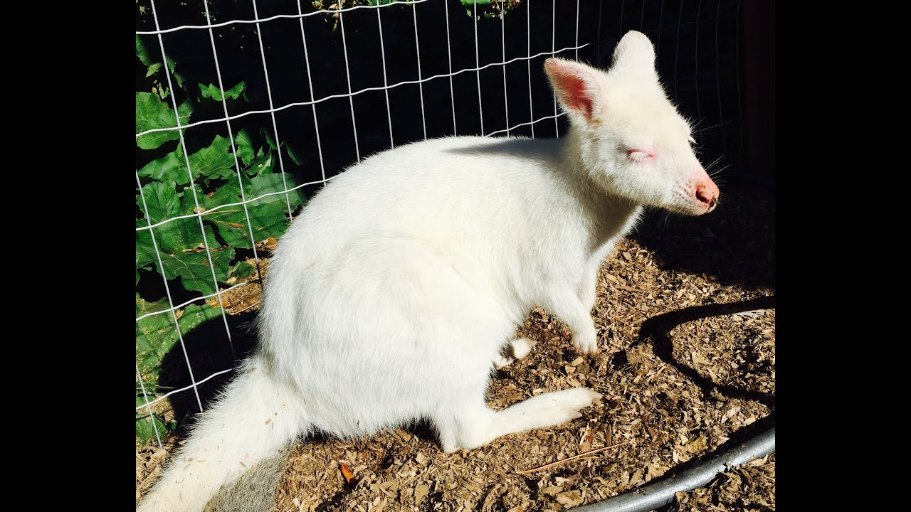 Albino Baby Kangaroo