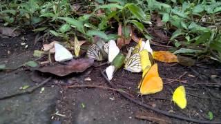 beautiful butterflies at cuc phuong national park vietnam 16 aug 2014