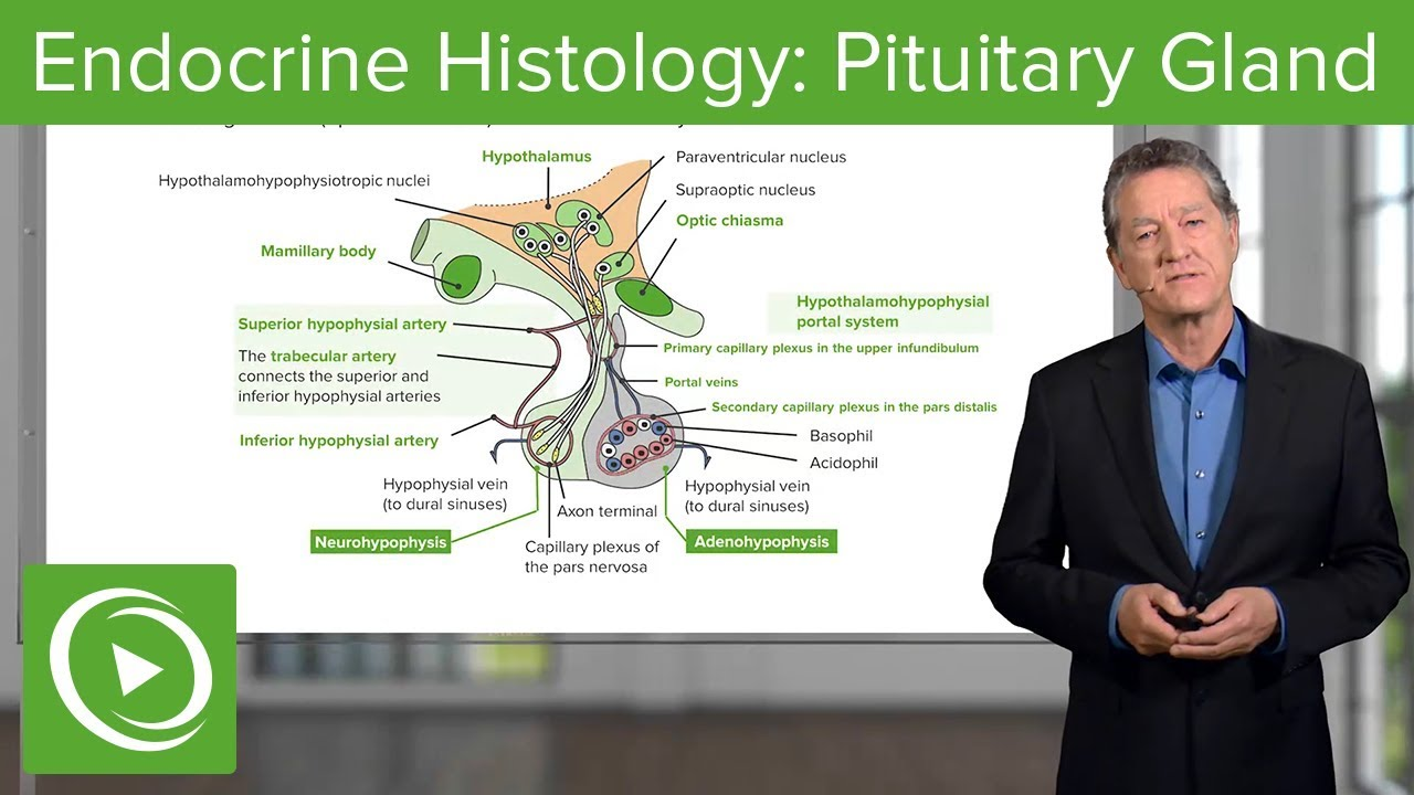 Endocrine Histology: Pituitary Gland – Histology | Lecturio