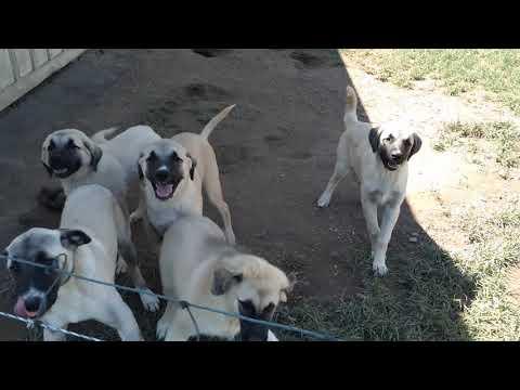Anatolian Shepherd puppys