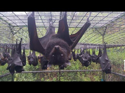 Rehab | Flying-fox, Fruit Bats, Megabats