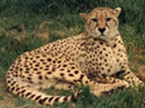 leopard cheetah hybrid - photo #12