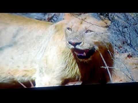 Sher ka shikar शेर का...