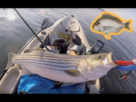 Striped Bass Fishing With Live Scup In RI With Hobie Outback