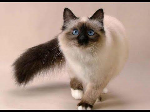 Лучшая порода кошек для квартиры: советы фелинологов