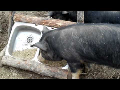 10 Things About Raising Pigs You Won T Read In Books