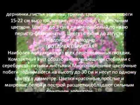 Многолетние цветы для сада Гвоздика садовая