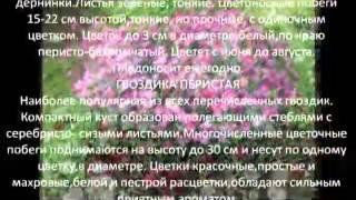 Многолетние цветы для сада Гвоздика садовая(Цветы -- настоящее украшение сада, которые наполняя его сочными яркими красками, создают неповторимый эффек..., 2014-07-03T16:16:13.000Z)