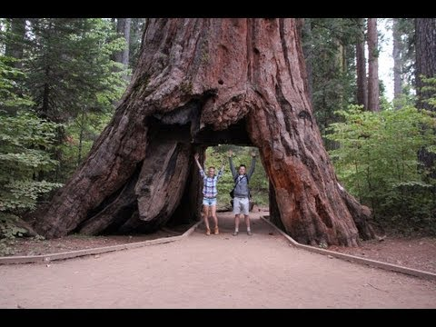 Usa 26 Oglądamy Gigantyczne Sekwoje W Calaveras Big Trees