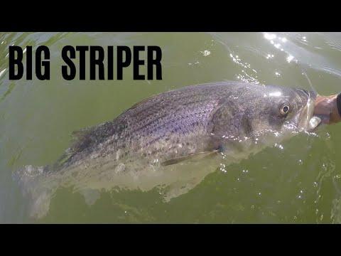 Chickamauga Dam Striper - Catching A BIG STRIPER On 6 LB LINE