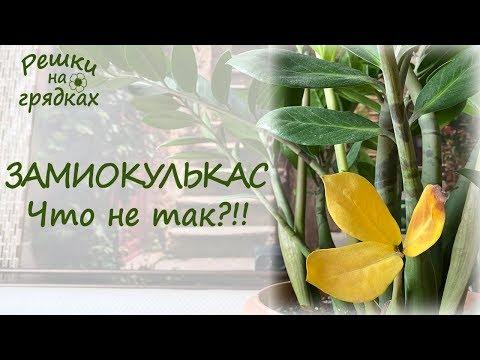 У ЗАМИОКУЛЬКАСА желтеют и сохнут листья | Проблемы с ДОЛЛАРОВЫМ ДЕРЕВОМ ЧТО делать?